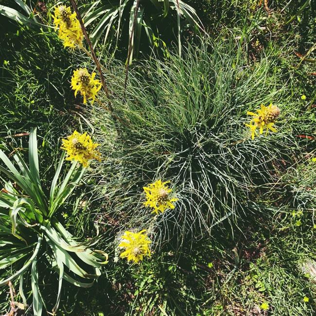 Asfodelino dal fiore giallo